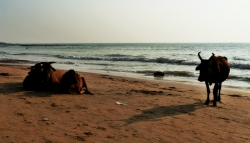'Cows at twilight' - Anjuna Beach, Goa, India, 2011