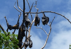 'Flying foxes' - Cairns, Australia, 2012