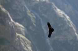 'El Condor' - Cruz del Condor, Canon de Colca, Arequipa, Peru, 2013