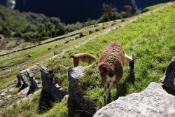 'Whipping the llama's ass!' - Machu Picchu. Peru, 2013